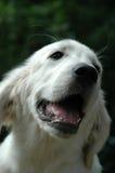 Jonge witte hond stock foto's