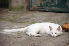 Jonge witte kat Royalty-vrije Stock Foto's