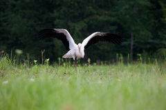 Jonge witte ooievaar stock afbeeldingen