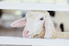Jonge witte schapen en een witte omheining stock foto