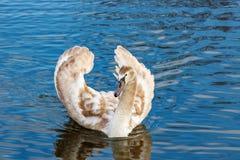 Jonge witte zwaan die op de waterspiegel van de rivier drijven Stock Afbeeldingen