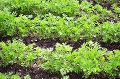 Jonge wortelbovenkanten, het groeien groenten in de open grond op vruchtbare grond, het concept landbouw en landbouwbedrijven royalty-vrije stock afbeeldingen