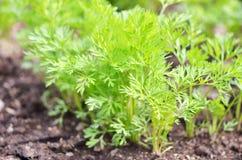 Jonge wortelbovenkanten, het groeien groenten in de open grond op vruchtbare grond, het concept landbouw en landbouwbedrijven stock foto