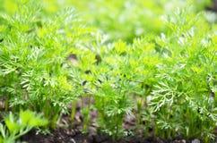 Jonge wortelbovenkanten, het groeien groenten in de open grond op vruchtbare grond, het concept landbouw en landbouwbedrijven stock foto's
