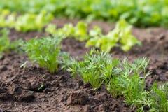 Jonge wortelinstallatie die uit grond op een plantaardig bed ontspruiten Royalty-vrije Stock Fotografie