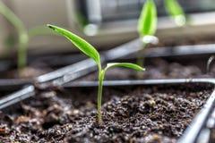 Jonge zaailing van peper in een plastic dienblad Stock Fotografie