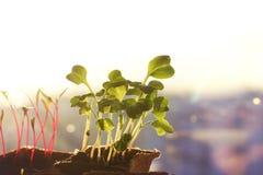 Jonge zaailingen van radijzen en bieten in turfpotten op het venster, ochtendstralen van de zon, copyspace Royalty-vrije Stock Fotografie