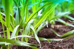 Jonge zaailingen van tarwe en gerst het groeien op het gebied op een rij stock foto