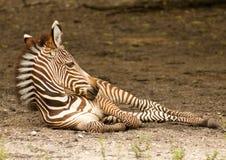 Jonge Zebra stock fotografie