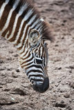 Jonge zebra Stock Foto