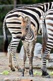 Jonge zebra Stock Afbeeldingen