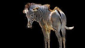 Jonge zebra Royalty-vrije Stock Afbeelding