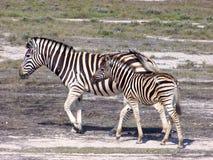 Jonge zebra met zijn moeder. Royalty-vrije Stock Afbeeldingen
