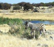 Jonge Zebra in Waterhole Royalty-vrije Stock Afbeeldingen