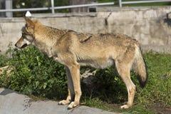 Jonge zij-wolf Stock Afbeeldingen