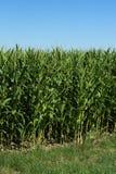 Jonge zoete maïs op het gebied Graangebied in de lente stock fotografie