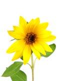 Jonge zonnebloem Stock Foto