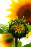 Jonge zonnebloem Stock Fotografie