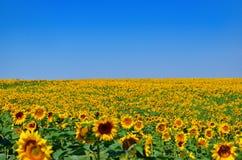 Jonge zonnebloemenbloei op gebied tegen een blauwe hemel Royalty-vrije Stock Afbeeldingen