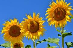 Jonge zonnebloemenbloei op gebied tegen een blauwe hemel Stock Afbeeldingen