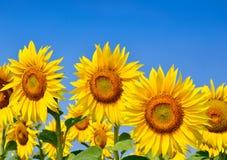 Jonge zonnebloemenbloei op gebied tegen een blauwe hemel Royalty-vrije Stock Foto