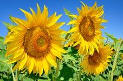 Jonge zonnebloemenbloei op gebied tegen een blauwe hemel Stock Foto