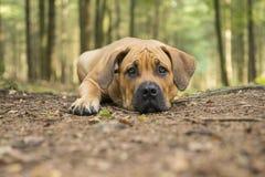 Jonge Zuidafrikaanse mastiffhond die in een bossteeg liggen met Royalty-vrije Stock Fotografie