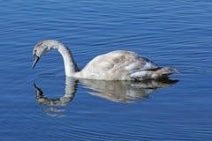 Jonge zwaan het zwemmen stock foto