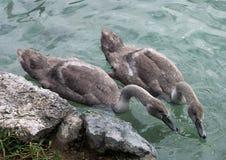 Jonge zwaan op Afgetapt meer, Slovenië stock afbeelding