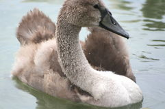 Jonge zwaan op het meer Balaton Royalty-vrije Stock Foto