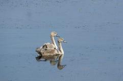 Jonge zwaanpaar Stock Afbeelding