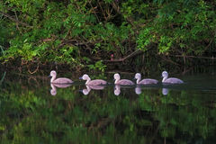 Jonge zwanen die in een lijn zwemmen Royalty-vrije Stock Fotografie