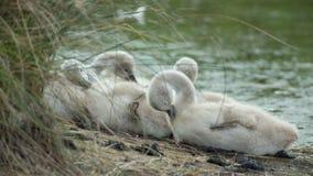 Jonge zwanen op de banken van een moerasland stock video