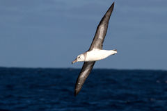 Jonge zwart-browed albatros over de wateren van het Zuiden Atlant Stock Foto