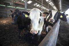 Jonge zwart-witte koeien in half open stal Stock Foto