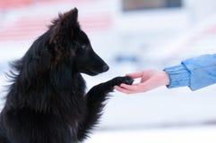Jonge zwarte hond opleiding Royalty-vrije Stock Afbeeldingen
