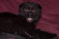 Jonge zwarte katjesgeeuwen het Schotse katje van de vouwenchocolade geeuwt alsof het zingen zijn mond opende stock fotografie
