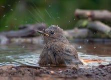 Jonge Zwarte Redstart wast zich met heel wat plashes stock afbeelding