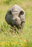 Jonge zwarte rinoceros Royalty-vrije Stock Afbeeldingen