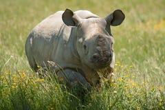 Jonge zwarte rinoceros Stock Foto's
