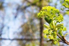 Jongelui die groene esdoornbloemen ontluiken Stock Fotografie