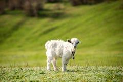 Jongelui die in openlucht goatling Stock Foto's