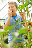 Jongen die Inlandse Tomaten in Serre eten Royalty-vrije Stock Foto