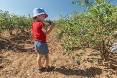 Jongen die verse bosbessen op een landbouwbedrijf plukken stock foto's