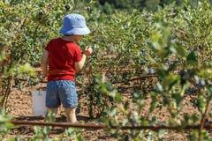 Jongen die verse bosbessen op een landbouwbedrijf plukken stock afbeeldingen