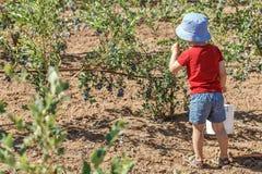 Jongen die verse bosbessen op een landbouwbedrijf plukken royalty-vrije stock afbeelding