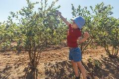 Jongen die verse bosbessen op een landbouwbedrijf plukken royalty-vrije stock foto's