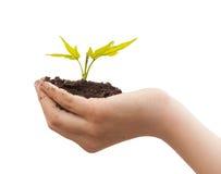 Jongenshanden die jonge plant houden die op een wit wordt geïsoleerd Stock Foto