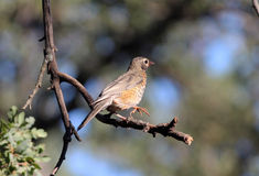 Jongere de Amerikaanse van Robin (Turdus-migratorius) stock fotografie