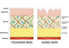 Jongere huid en oudere huid stock illustratie